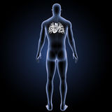 Menschliches Herz mit Körperrückansicht Stockfotografie