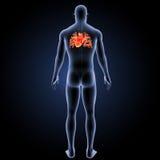 Menschliches Herz mit Körperrückansicht Stockfoto