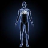 Menschliches Herz mit Körpervorderansicht Stockbilder