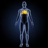 Menschliches Herz mit Körpervorderansicht Stockfotos