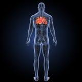 Menschliches Herz mit Kreislaufsystemrückansicht Stockfotografie