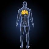 Menschliches Herz mit Kreislaufsystemrückansicht Lizenzfreie Stockbilder