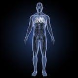 Menschliches Herz mit Kreislaufsystemvorderansicht Stockfoto