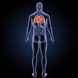 Menschliches Herz mit Organrückansicht Lizenzfreie Stockbilder