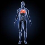 Menschliches Herz mit Organvorderansicht Stockfotos