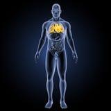 Menschliches Herz mit Organvorderansicht Lizenzfreies Stockfoto