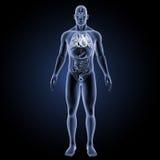 Menschliches Herz mit Organvorderansicht Lizenzfreies Stockbild