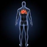 Menschliches Herz mit skeleton Rückansicht Lizenzfreie Stockbilder