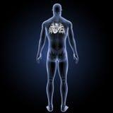 Menschliches Herz mit skeleton Rückansicht Stockfotos