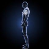 Menschliches Herz mit skeleton Seitenansicht Stockfotos