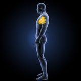 Menschliches Herz mit skeleton Seitenansicht Stockfotografie