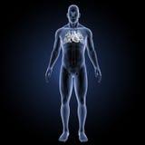 Menschliches Herz mit skeleton Vorderansicht Stockfoto