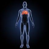 Menschliches Herz mit skeleton Vorderansicht Lizenzfreie Stockfotografie