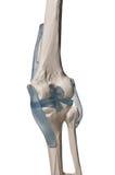 Menschliches Knie lizenzfreie stockfotos