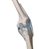 Menschliches Knie stockfotos