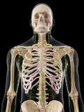 Menschliches Lymphsystem Stockbild