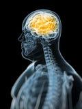 Menschliches markiertes Gehirn lizenzfreie abbildung