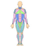 Menschliches muskulöses System Stockbilder