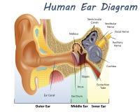 Menschliches Ohr-Diagramm Stockfoto