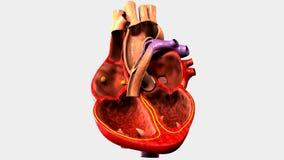 Menschliches Organ-Herz mit vier Kammern lizenzfreie abbildung