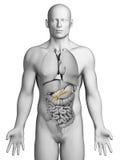 Menschliches Pankreas Stockfotografie