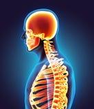 Menschliches Skeleton System Stockfotos