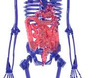 Menschliches Skelett über weißem falschem Magen Stockfotografie