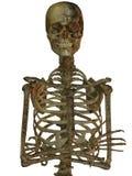 Menschliches Skelett Stockbilder
