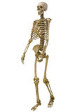Menschliches Skelett getrennt auf Weiß lizenzfreie stockbilder