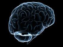 Menschliches transparentes Gehirn vektor abbildung