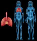 Menselijk ademhalingssysteem Stock Afbeeldingen