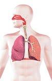 Menselijk ademhalingssysteem, dwarsdoorsnede. Royalty-vrije Stock Foto's