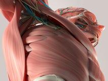 Menselijk anatomiedetail van borst en schouder Spier, slagaders Op duidelijke studioachtergrond stock illustratie