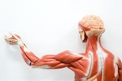 Menselijk anatomiemodel stock fotografie