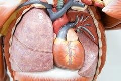 Menselijk anatomiemodel stock foto