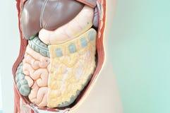 Menselijk anatomiemodel Stock Afbeeldingen