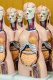 Menselijk anatomiemodel Stock Afbeelding