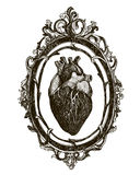 Menselijk anatomisch hart stock illustratie