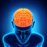 Menselijk Brain Anatomy Stock Afbeeldingen