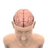 Menselijk Brain Anatomy Royalty-vrije Stock Fotografie