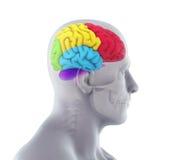 Menselijk Brain Anatomy Stock Foto