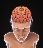 Menselijk Brain Anatomy Royalty-vrije Stock Foto