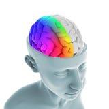 Menselijk Brain Anatomy Stock Foto's