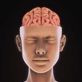 Menselijk Brain Anatomy Royalty-vrije Stock Afbeeldingen
