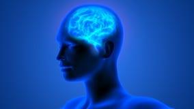 Menselijk Brain Anatomy Stock Fotografie