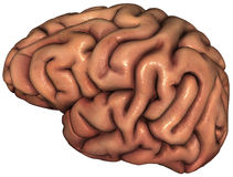 Menselijk Brain Illustration Isolated Royalty-vrije Stock Foto