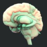 Menselijk Brain Inside Anatomy Royalty-vrije Stock Fotografie