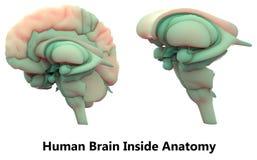 Menselijk Brain Inside Anatomy Royalty-vrije Stock Afbeelding