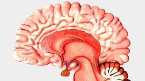 Menselijk Brain Intersection vector illustratie