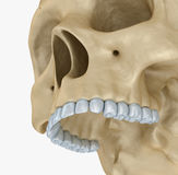 Menselijk geïsoleerd schedelskelet, Stock Foto
